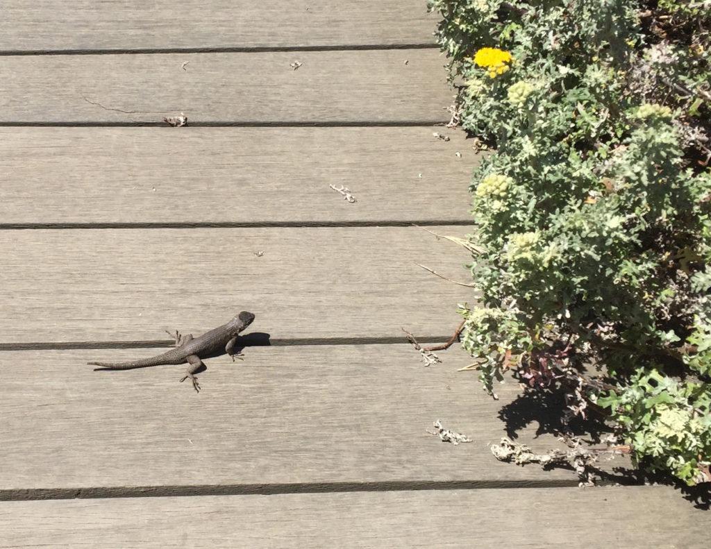 Fiscalini Ranch Preserve, Hiking in Cambria, California, Travel, Central Coast, Budget, Lizard