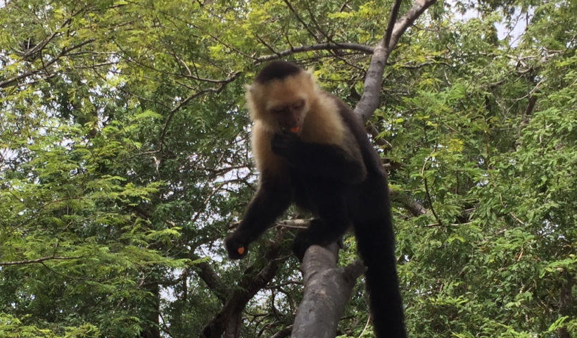 Monkey, Costa Rica, Animals