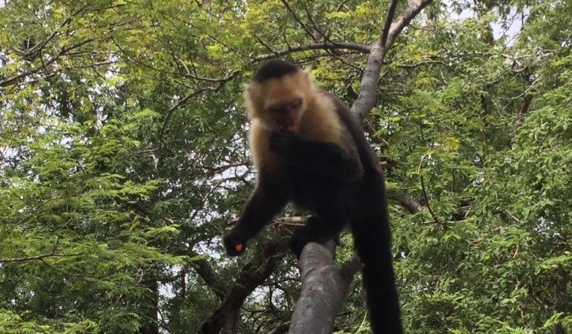 Monkey, Costa Rica, Animals