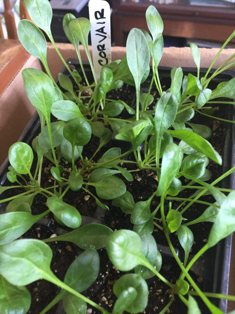 Urban indoor container garden ideas spinach Those Someday Goals