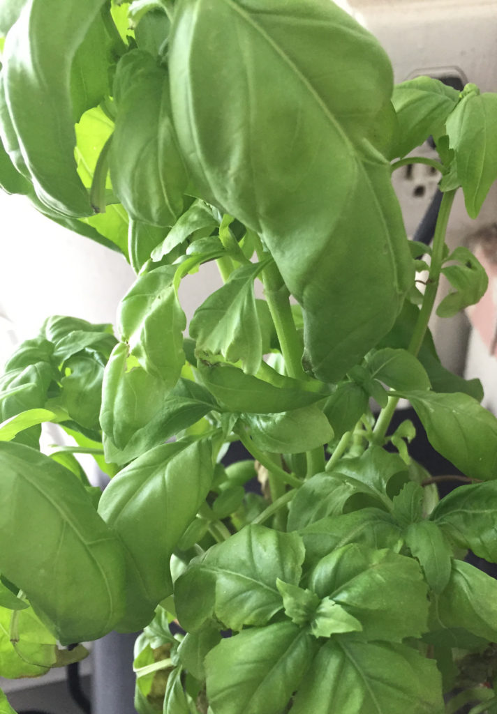 Basil Plants in Indoor Container Garden Those Someday Goals