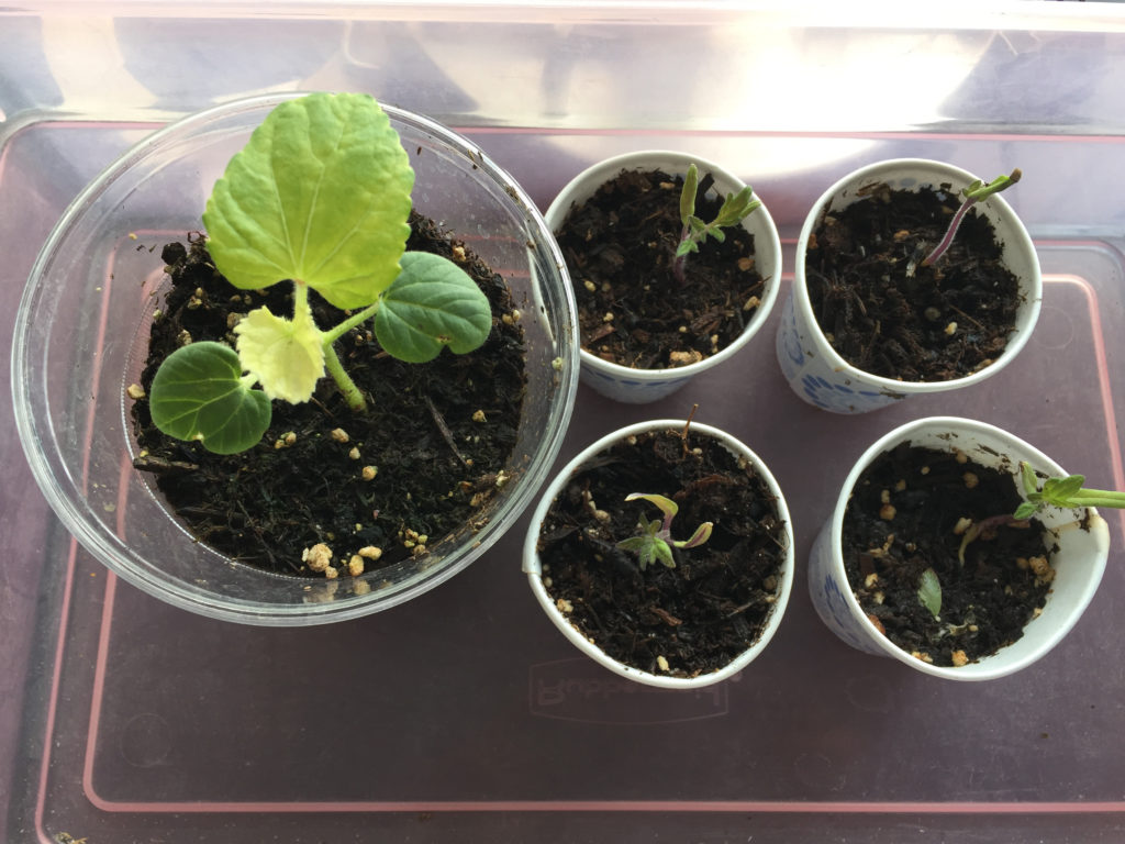 Okra, tomato, seedlings, Those Someday Goals