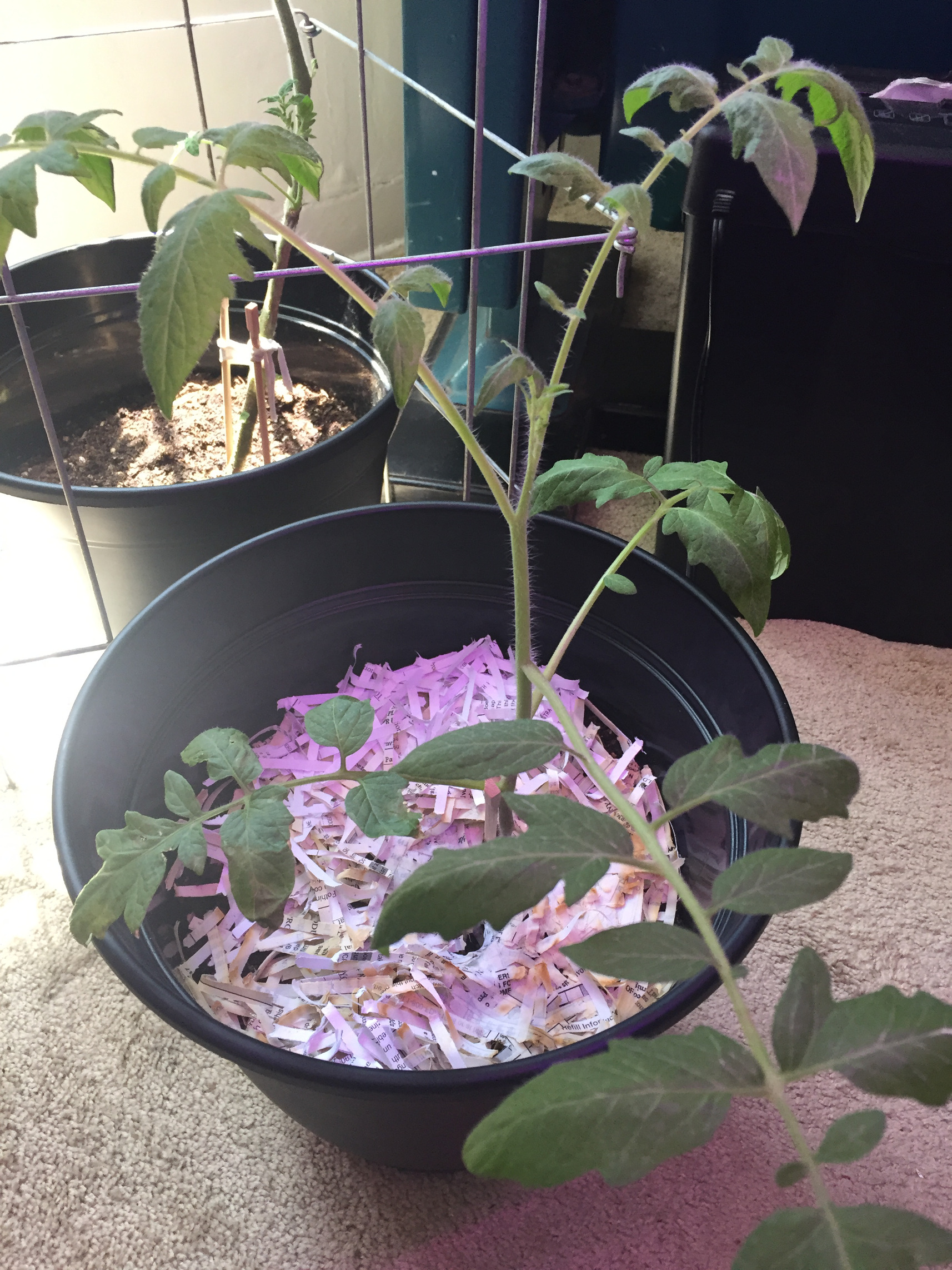 Transplanted Cherry Tomato Plants Indoor Container Garden Those Someday Goals