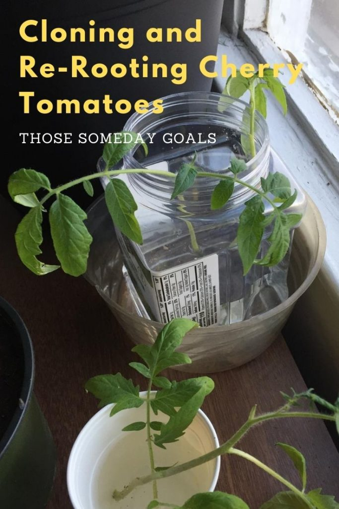 Clone Cherry Tomatoes Roots Growing New Roots Transplanting Cherry Tomato Plants in Pots Those Someday Goals