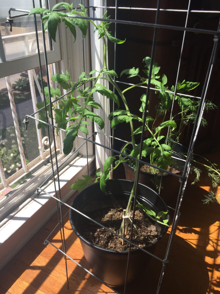 Caged Tomato Plant Indoor Container Garden Pots Those Someday Goals