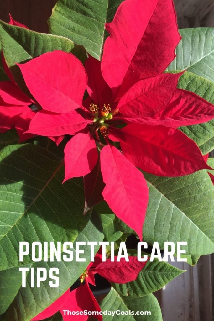 Poinsettia Care Tips Full Bloom Christmas Holidays Revive