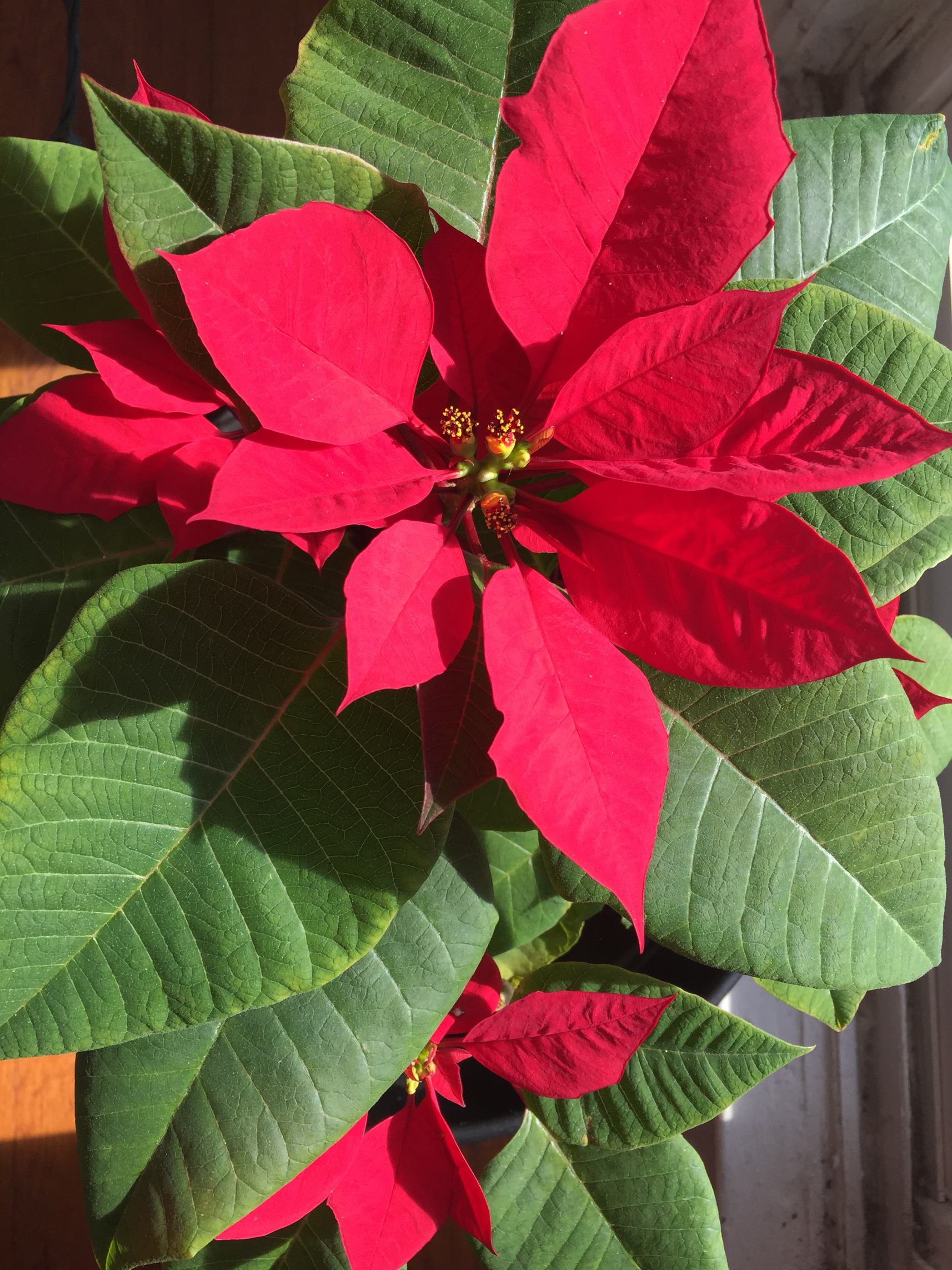 Poinsettia Care Tips Full Bloom Christmas Holidays Revive those someday goals