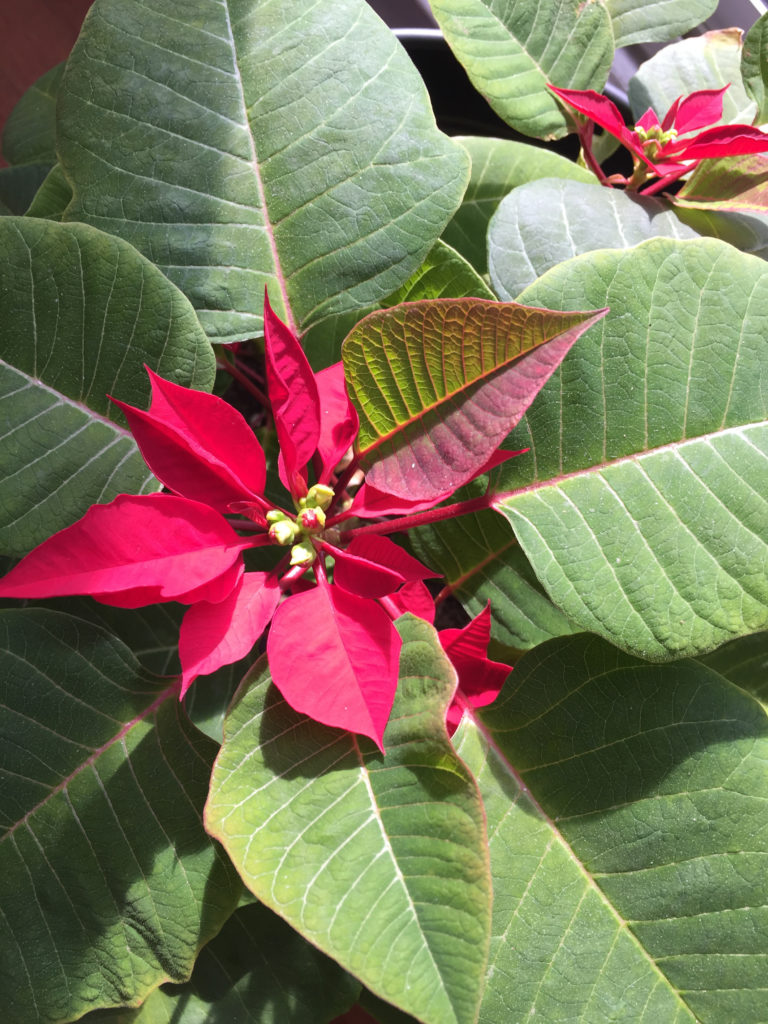 Poinsettia Care Tips Full Bloom Christmas Holidays Revive Budding Those Someday Goals