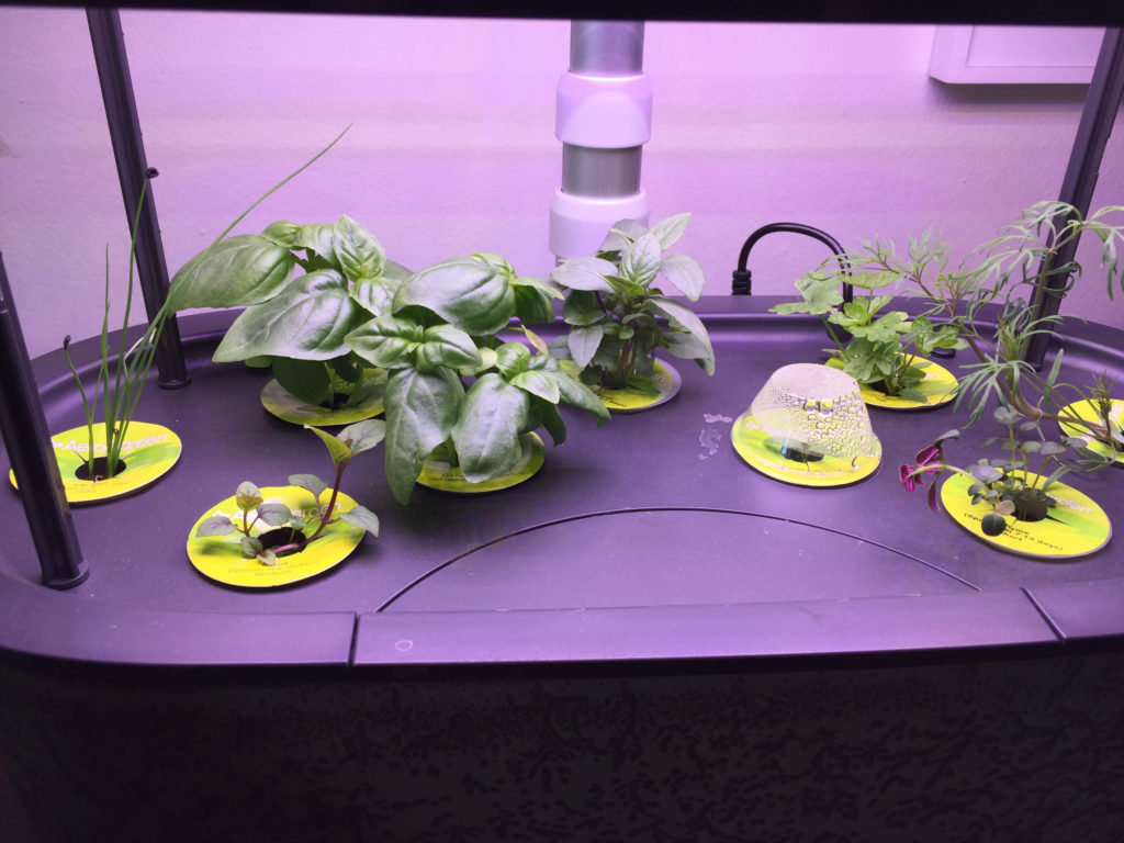 AeroGarden, Herb container garden, day 15, basil, thyme, dill, chives, mint, parsley