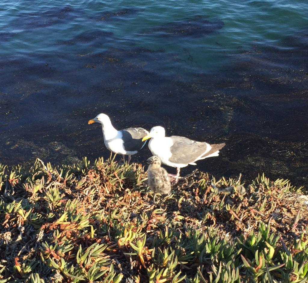 Baby seagulls in Pismo Beach, California