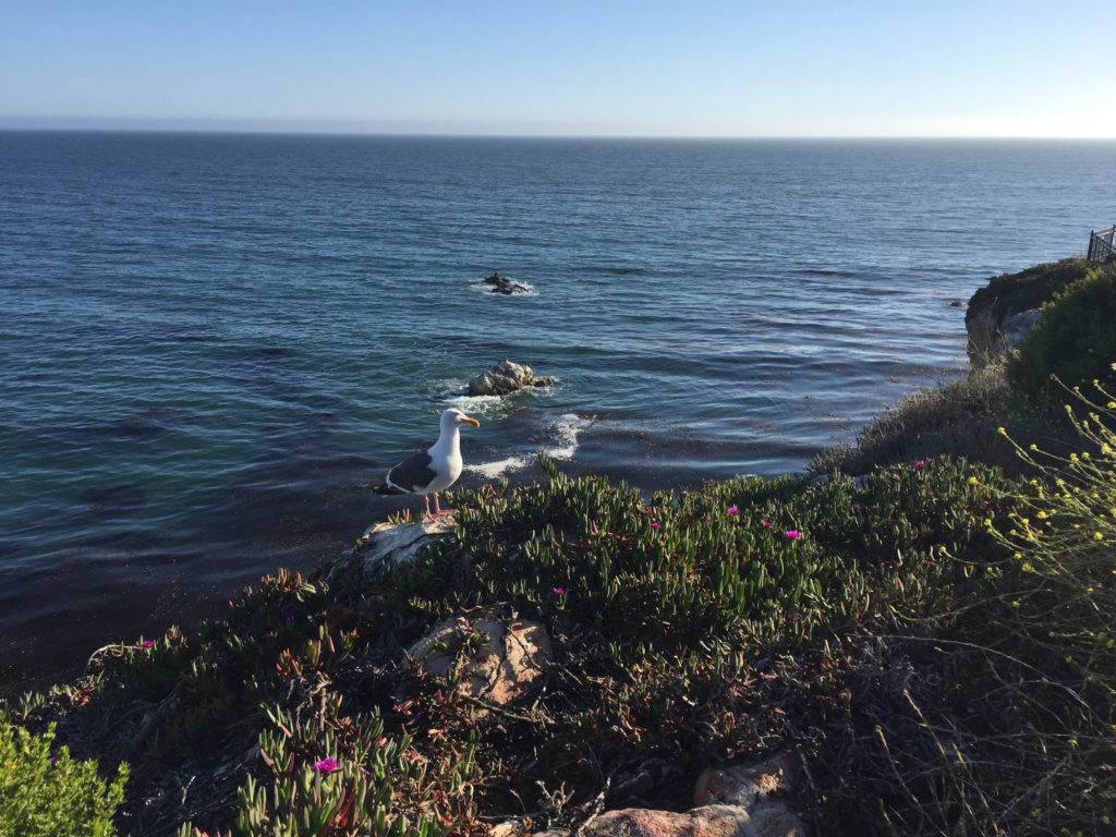 Seagull on the cliff in Pismo Beach