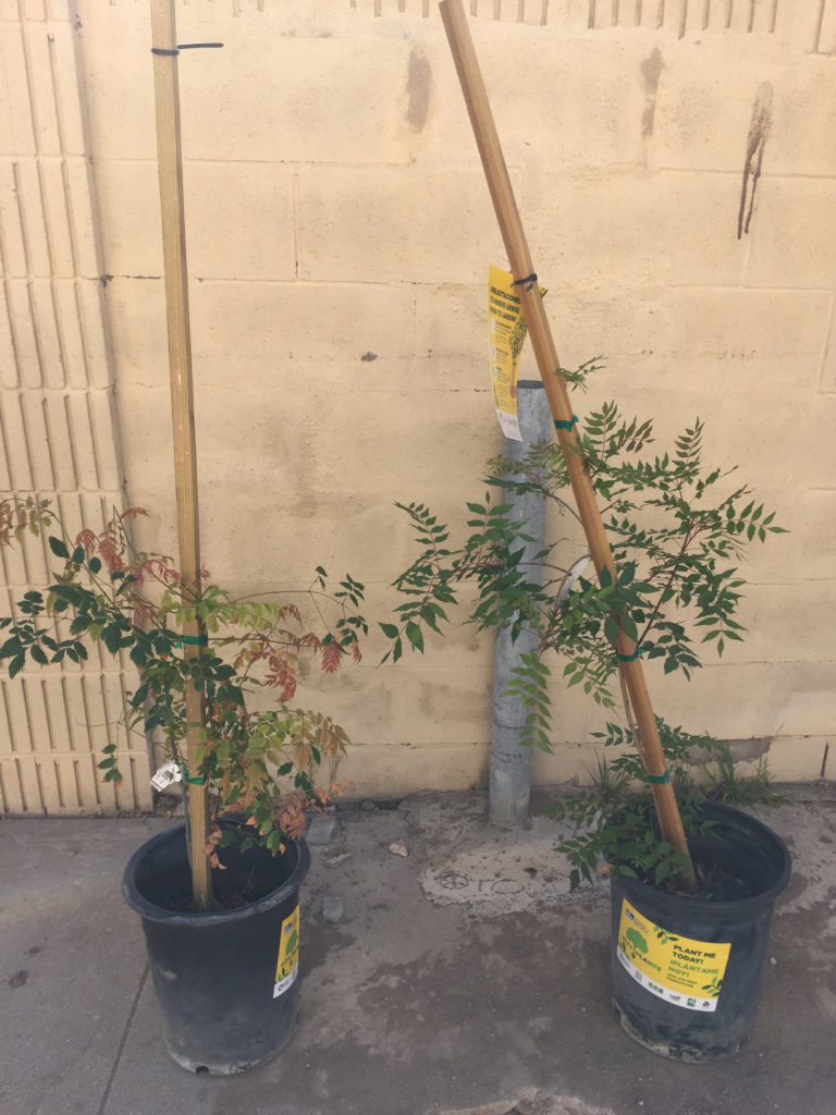 City Plants, Chinese Pistache, Chinese Flame Tree, Backyard ideas, design ideas, backyard landscaping, urban backyard ideas, those someday goals